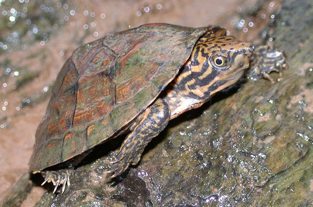 Stripe-Necked Musk Turtles will be anywhere from olive brown to brown in carapace color.