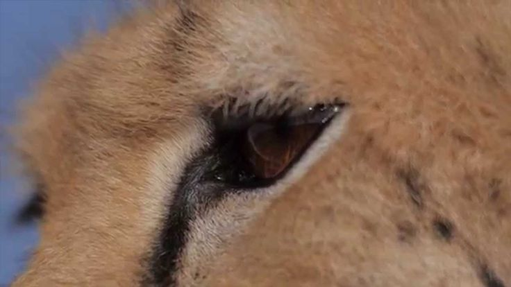 """ENDANGERED ASIATIC CHEETAH"" by BlueLotus (EN) This short video with English narration is a promotional video about conservation of the ASIATIC CHEETAH (Acinonyx jubatus venaticus), also known as the"" Iranian Cheetah. ""ENDANGERED ASIATIC CHEETAH"" by BlueLotus (EN)"