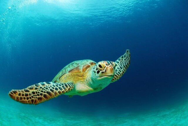 Sea turtle facts & baby sea turtle pictures...Types of turtles (hawksbill, green, flatback, loggerhead, Kemp's ridley, olive ridley & leatherback turtles)