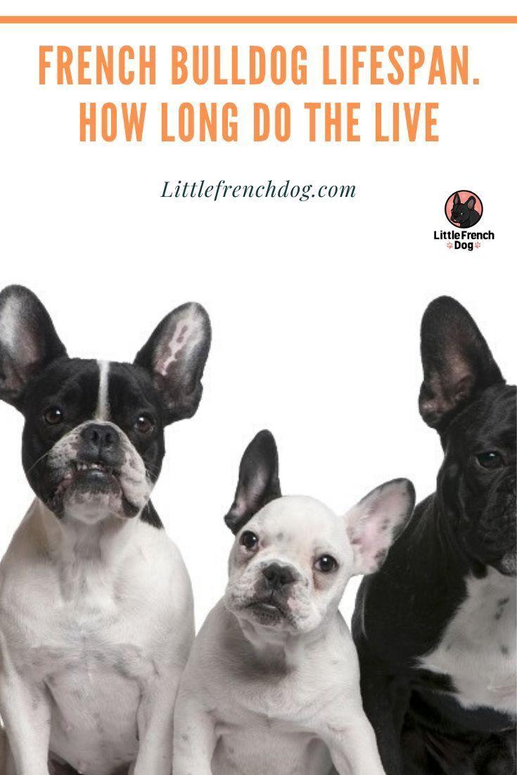 French Bulldog Lifespan How Long Do The Live Frenchie Lifespan