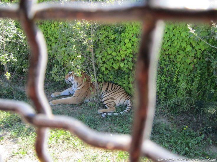 Tiger in Safari Ravenna Park, Italy