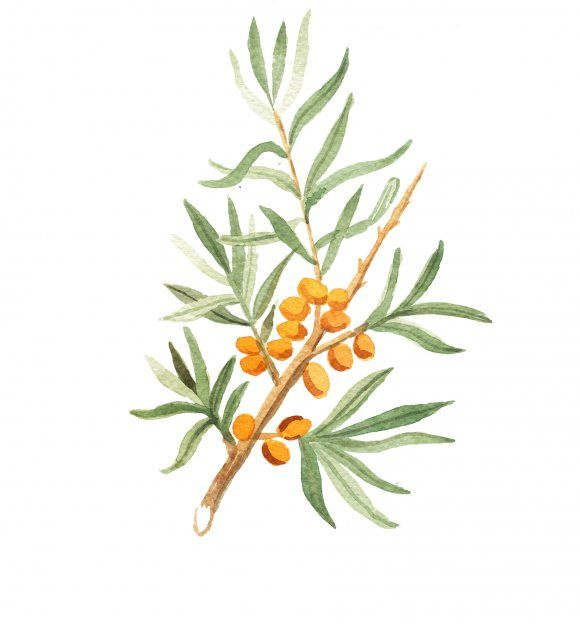 Our sea buckthorn watercolor by Maja Steen.