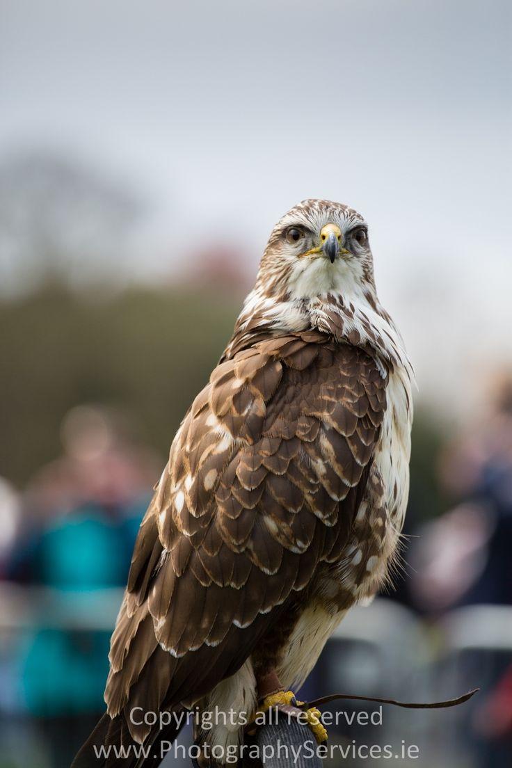 Falcon  #falcon #bird #nature