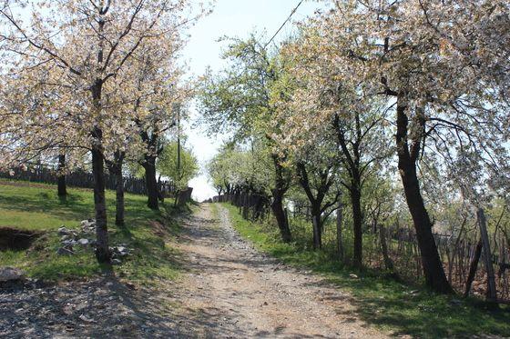 Pădurea de liliac Ponoarele - 1 MAI