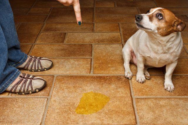 Muchos hogares cuentan con una mascotas en su casa, las cuales las consideran como parte de la familia y forman parte de su vida. Quienes cuenten con gatos en su hogar sabrán que estos son más fáciles de organizar para hacer sus necesidades, ya que solo basta poner una caja de arena y el gato …
