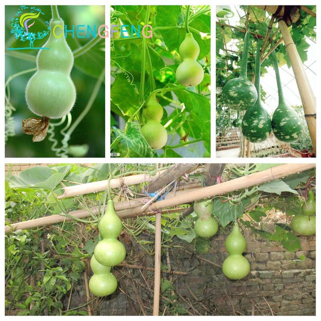 5/bag Cina Rare Semi di Zucca Colli Lunghi E Lampadine Outdoor semi di Ortaggi Pianta Bonsai Divertente Giardino e Felice Farm