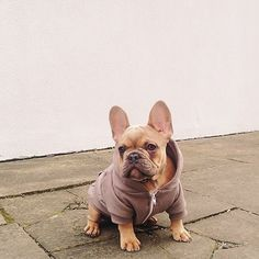 French bulldog in a hoodie - so cute!