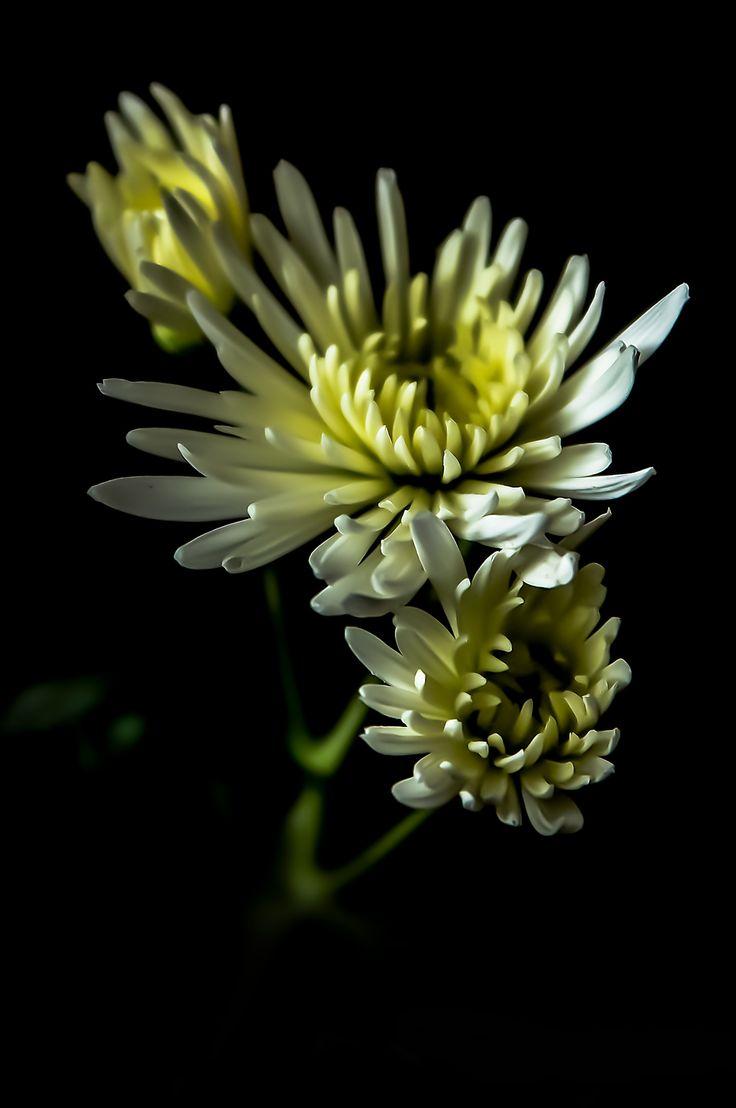 Crisantemi by Valentino Villa on 500px