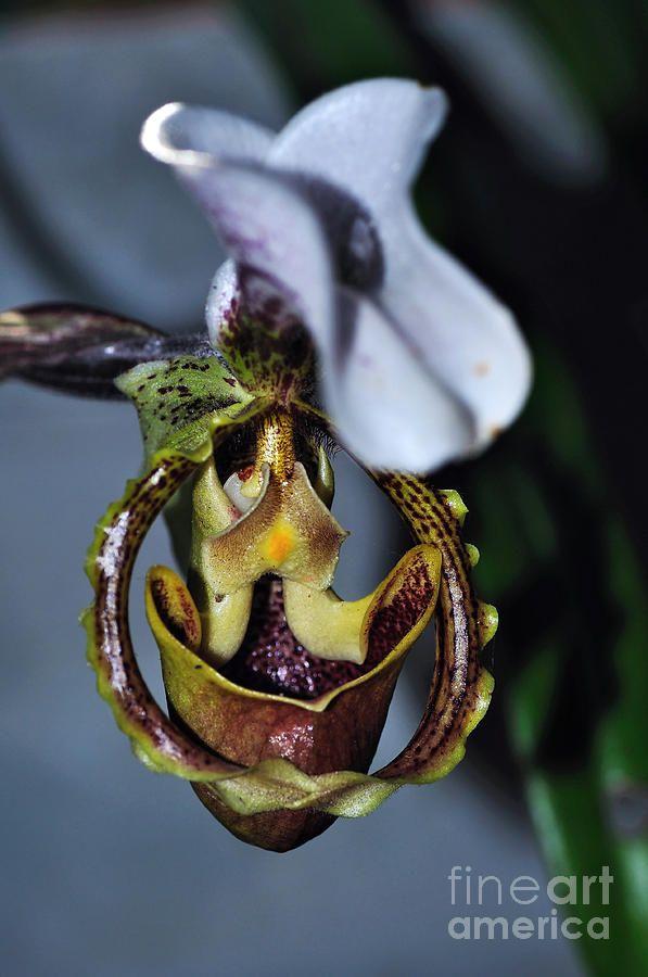 Rare Orchid 3 - Paphiopedilum