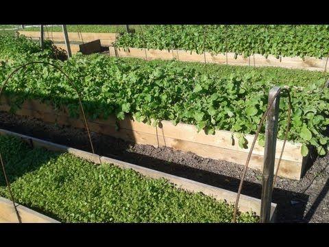 Сидераты в огороде. Как сажать, когда и зачем   Все про помидоры (томаты) - видео, фото, отзовы