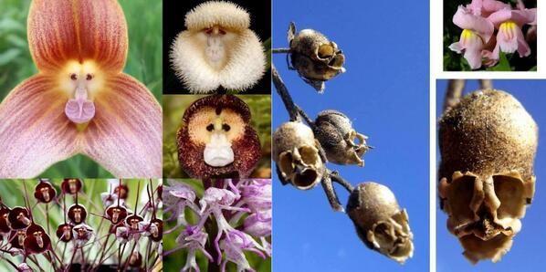 Image result for monkey orchids & snapdragons