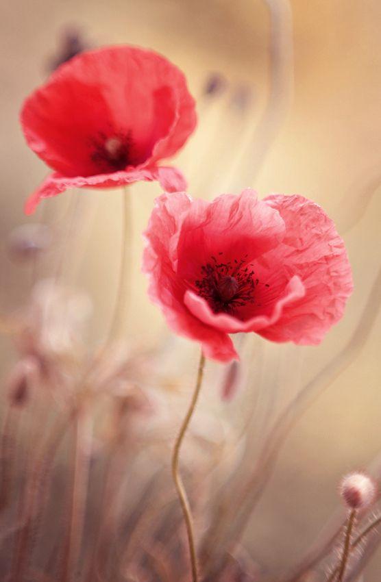 Poppy flowers that ooze an innocent romance...