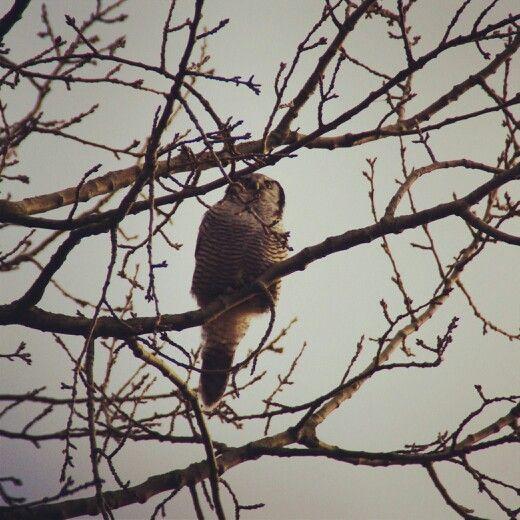 #owl #tree #sperweruil