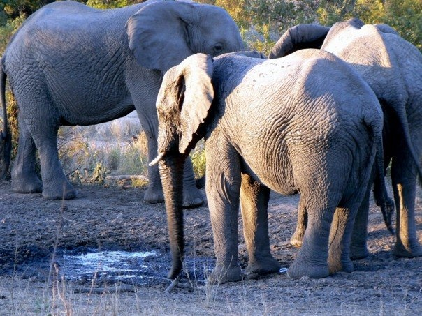 Elephants at the watering hole, Klaserie Game Reserve, Hoedspruit, South Africa