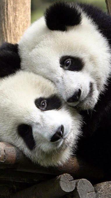 Shin Shin and Ri Ri, a panda couple, Mr and Mrs:):)
