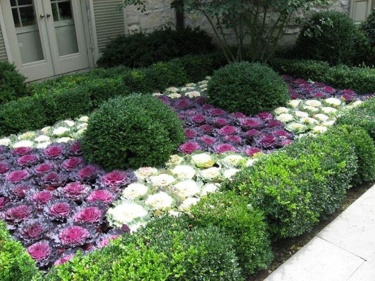 Outdoor Yard With Boxwood And Ornamental Cabbage Plants