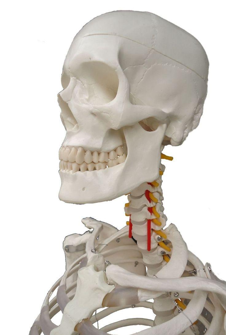 die besten 25+ wirbelsäulenarterie ideen auf pinterest | circle of, Skeleton