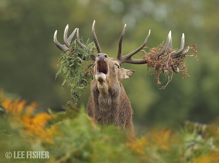 A stag roars during the annual deer rut.  CRY OF THE KING by Lee Fisher on 500px