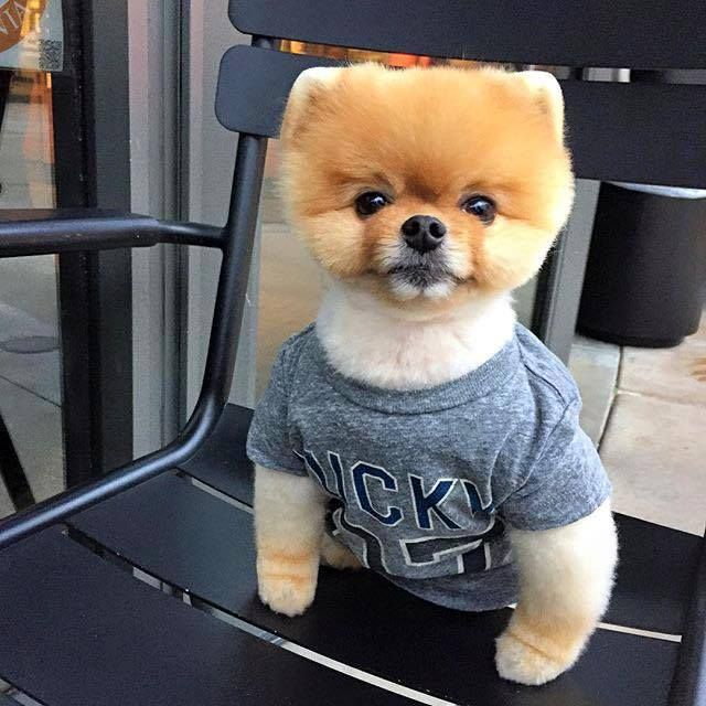 Best Musically Images On Pinterest Musical Ly And Cut Animals - Jiff the pomeranian is easily the best dressed model on instagram