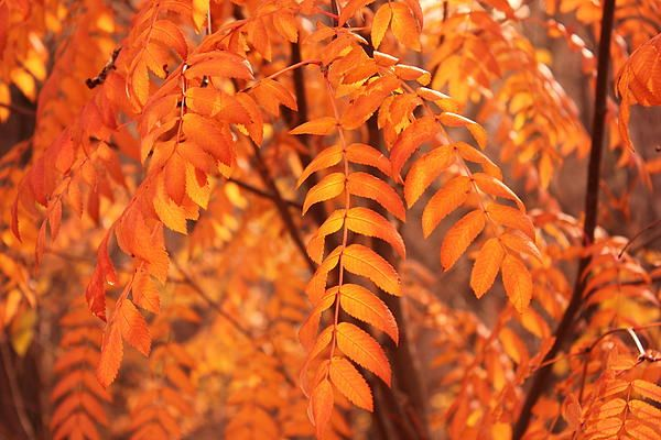 Leaves of the mountain ash or rowan tree, in autumn.