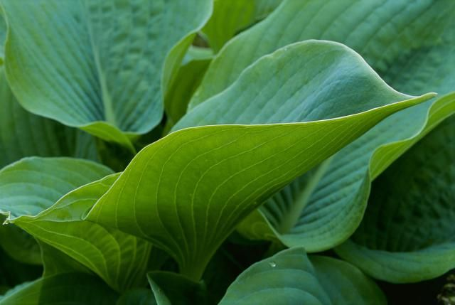 Hostas are called 'shade-tolerant' plants, meaning they will grow in shade or partial shade. But some hostas need a period of full sun to look and perform their best. Although it is not recommended that any hosta be in full sun all the time, many Hostas are more vigorous and display their most vibrant colors if given at least some sun exposure. Here are some tips to help you pick the right hosta for your site.