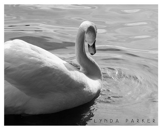 Bird -Black and White Swan Giclee Photograph - 8x10 on Etsy
