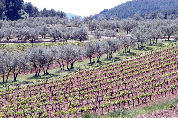 Le vignoble provençal.