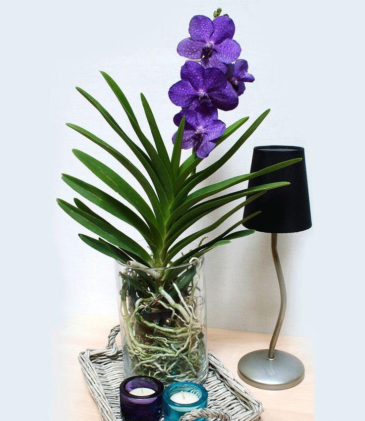 Vanda 'Princess Mikasa' #orchid