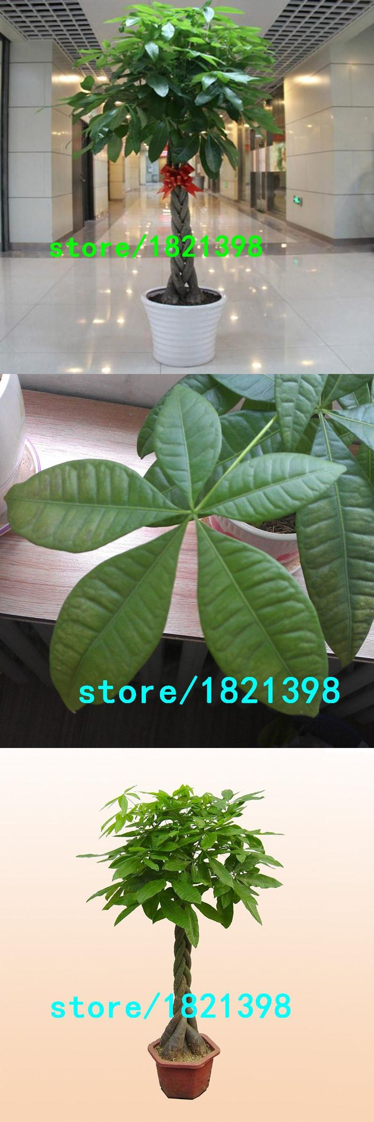 [Visit to Buy] Hot Sale Pachira Macrocarpa Seeds 100% True Bonsai Tree Seeds Whip Pachira for DIY Home Garden Household Items 10 PCS/pack #Advertisement