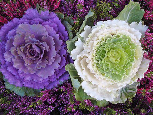 ornamental kale. But where the hell can I buy it?!?!