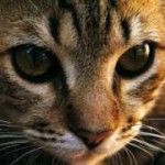 Feline Epilepsy Symptoms and Treatment - http://www.mypetarticles.com/feline-epilepsy-symptoms-and-treatment/#more-758