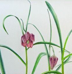 Hedendaagse botanische tekening van een kievitsbloem detail IMG_2627