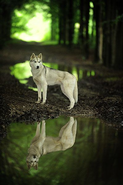 A noble animal in a beautiful setting.  This was the winner for Dog Portrait in the National Dog Photography Competition (UK), 2012