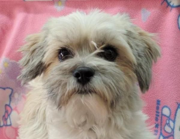 Lollie, adoptable Dog, Young Female Havanese and Shih Tzu mix, Oak Harbor, WA
