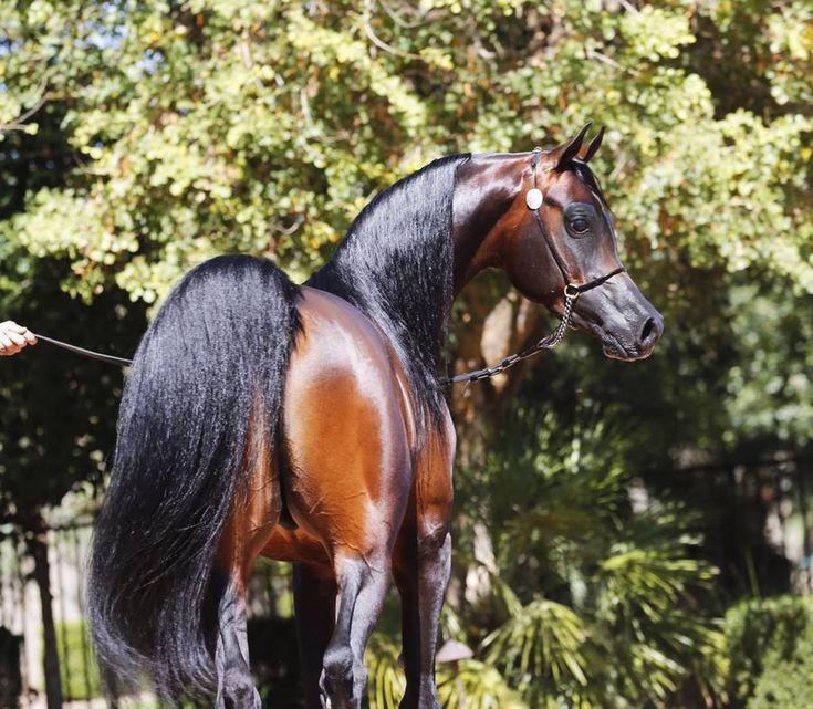 Wan and Only :: Fazenda Floresta ~ Beautiful Arabian Horses