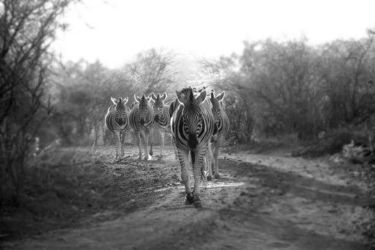 Zebra crossing - Pilanesberg