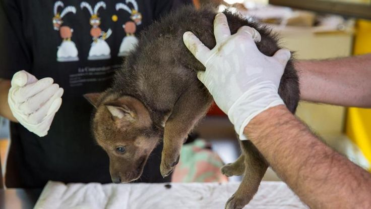 I primi lupetti delle Alpi nati in cattività Nel Cuneese gioia per la cucciolata. Le proposte dei lettori per i nomi