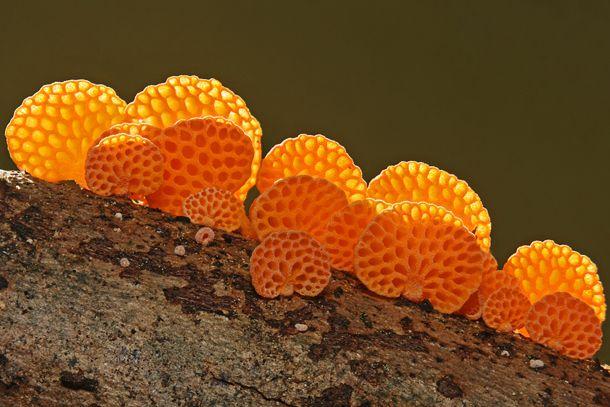 Orange Pore Fungi (Favolaschia Calocera)