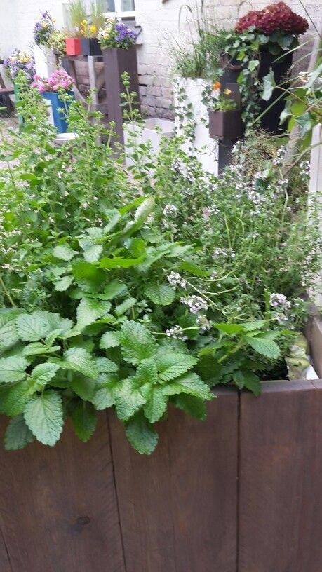 Yrttimultapussi Lautatarha pihalaatikkoon,   taimet sinne ja hupsistakeikkaa. Eikä näy etanoita.
