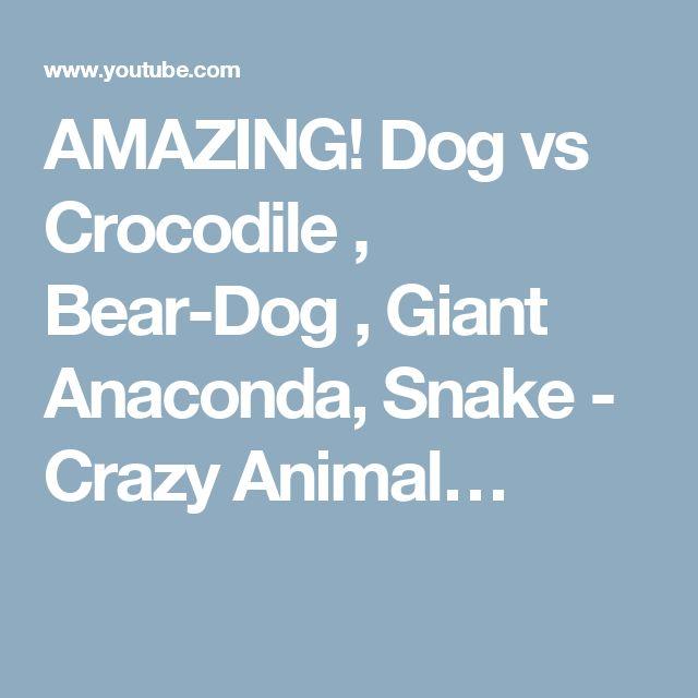 AMAZING! Dog vs Crocodile , Bear-Dog , Giant Anaconda, Snake - Crazy Animal…