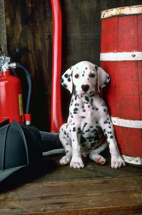 Dalmatian puppy with fireman's helmet Photograph by Garry Gay -  Just look at that sweet face!: Firefighter, Dalmatian Puppies,  Carriage Dog, Dalmatians Puppies,  Coach Dog, Firemans Helmet