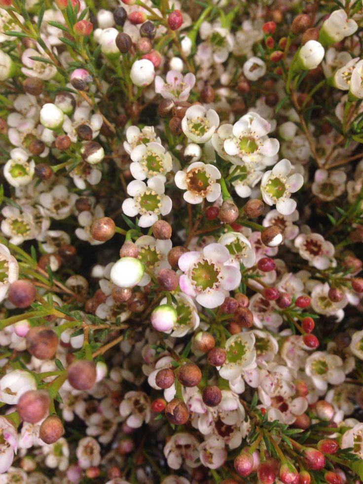 Voksblomst - Chamelaucium Denne blomsten blir mest brukt i dekorasjoner eller mellomstikk i buketter. Og den finnes i to farger hvit og lilla.