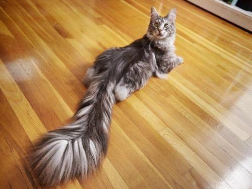 Cygnus, the world record holder for longest cat tail. - Album on Imgur