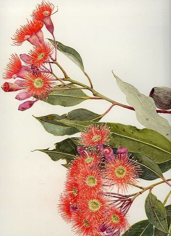 E ficifolia F55 | Helen Fitzgerald - Botanical & Wildlife artist | Helen Fitzgerald