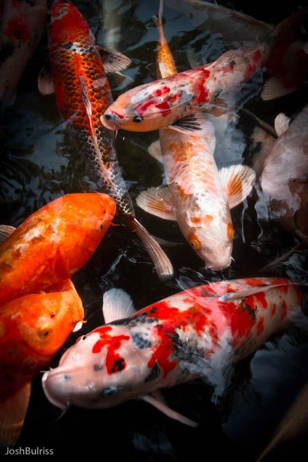 91 best being koi images on pinterest