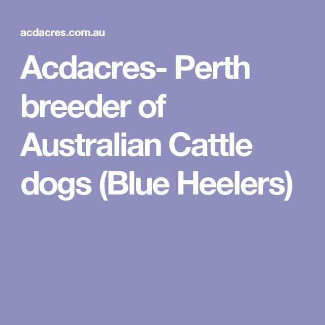 Acdacres- Perth breeder of Australian Cattle dogs (Blue Heelers)