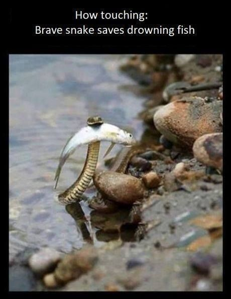 Touching photo of brave snake saves drowning fish