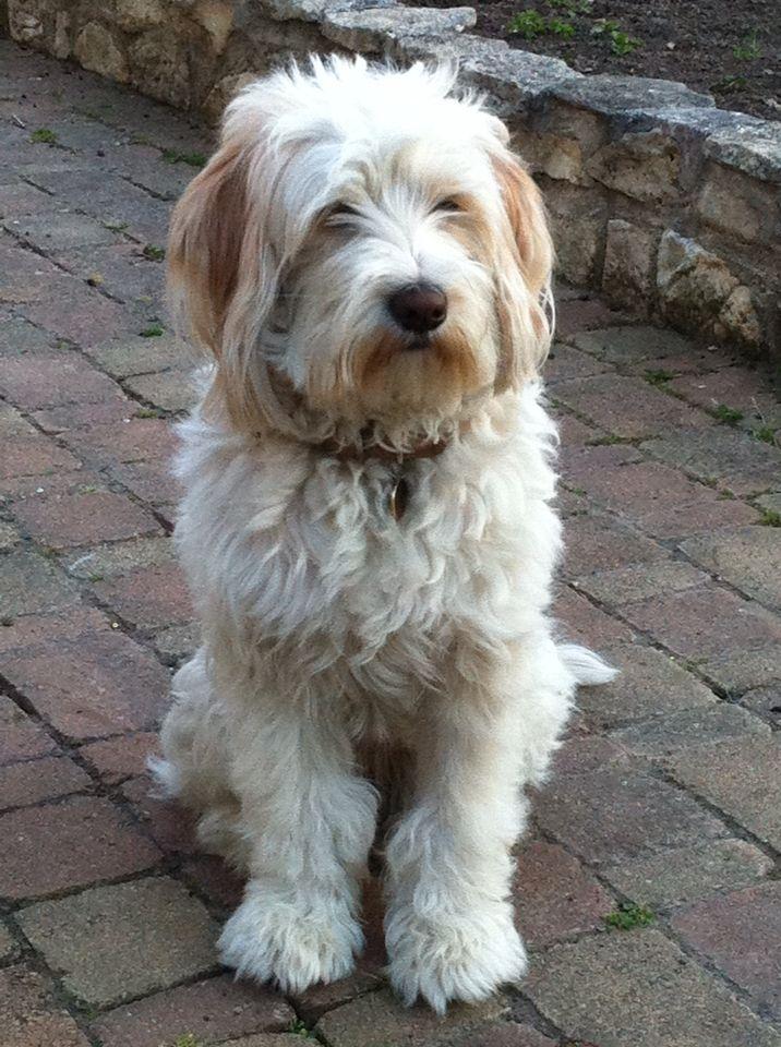 Penny - Terrier du Tibet