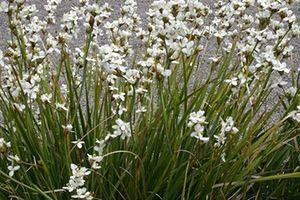 New Zealand plants: Libertia grandiflora a photographic collection of popular nz plants for uk gardens!