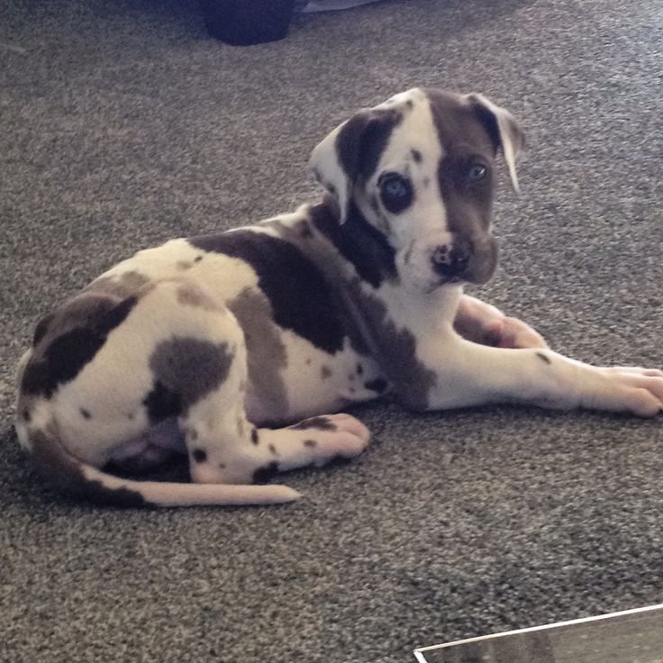 Blue harlequin Great Dane puppy 7 weeks old